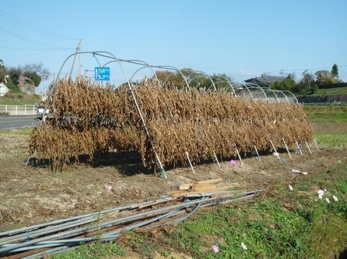 冬晴れの豆はざ乾く風少し.jpg