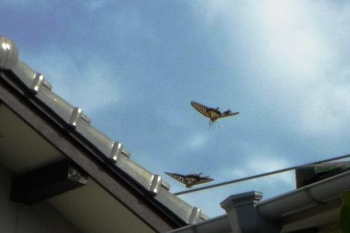 屋根越えて秋の揚羽の連れ翔びぬ.jpg